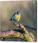 Bluetit On A Branch Acrylic Print