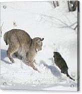 Bobcat Lynx Rufus Hunting Muskrat Acrylic Print