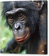 Bonobo Pan Paniscus Portrait Acrylic Print