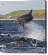 Bottlenose Dolphin - Scotland  #14 Acrylic Print