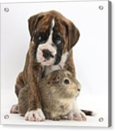 Boxer Puppy And Guinea Pig Acrylic Print