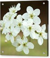 Bradford Pear Flower Acrylic Print