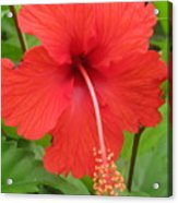Bright Red Hibiscus Acrylic Print