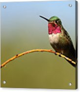 Broad-tailed Hummingbird Bending A Willow Low Acrylic Print