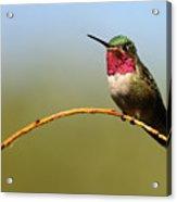 Broad-tailed Hummingbird Bending A Willow Low Acrylic Print