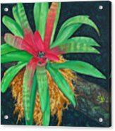 Bromeliad Acrylic Print by Charles Yates