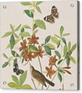 Brown Headed Worm Eating Warbler Acrylic Print