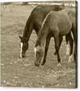 Brown Horses Grazing Acrylic Print