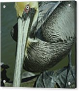 Brown Pelican At The Dock Of The Bay Acrylic Print