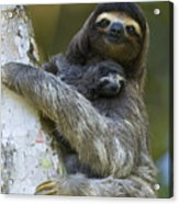 Brown-throated Three-toed Sloth Acrylic Print