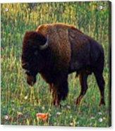 Buffalo Custer State Park Acrylic Print
