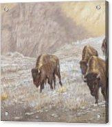 Buffalo Under The Alpenglow Acrylic Print