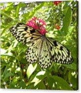 Butterfly-1 Acrylic Print