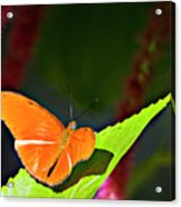 Butterfly 22 Acrylic Print