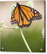 Butterfly In Wait Acrylic Print