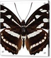 butterfly species Athyma reta moorei Acrylic Print