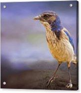 Blue Scrub Jay Acrylic Print