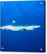 California, Blue Shark Acrylic Print