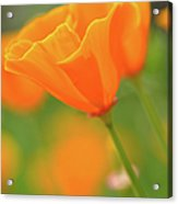 California Spring Poppy Macro Close Up Acrylic Print