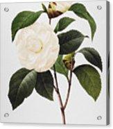 Camellia, 1833 Acrylic Print