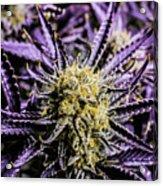 Cannabis Macro Acrylic Print