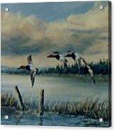Canvasbacks Over Lake Earl Acrylic Print