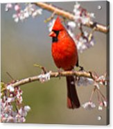 Cardinal In Cherry Acrylic Print