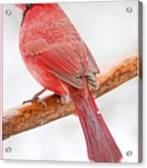 Cardinal Male In Winter Acrylic Print