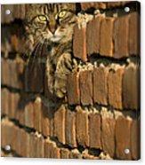 Cat On A Brick Wall Acrylic Print