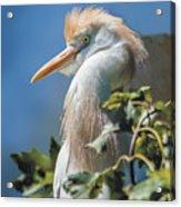 Cattle Egret Profile Acrylic Print