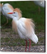 Cattle Egret Walking Close Acrylic Print