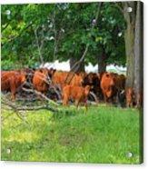 Cattle Herd Acrylic Print