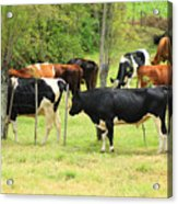 Cattle In A Pasture Acrylic Print