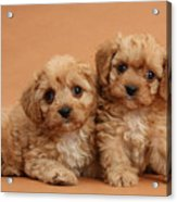 Cavapoo Pups Acrylic Print by Mark Taylor