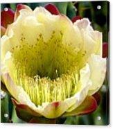 Cereus Cactus Flower Acrylic Print