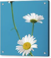 Chamomile Bouquet Acrylic Print