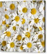 Chamomile Flowers Acrylic Print