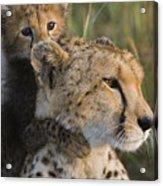 Cheetah Acinonyx Jubatus And Cub Acrylic Print