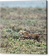 Cheetah Acinonyx Jubatus Hunting Acrylic Print