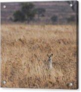 Cheetah In The Tall Grass Acrylic Print