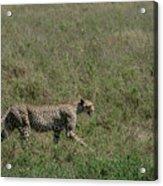 Cheetah On The Serengeti Acrylic Print