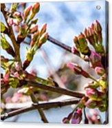 Cherry Tree Buds Acrylic Print
