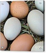 Chicken Eggs Acrylic Print