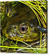 Chilean Widemouth Frog Acrylic Print