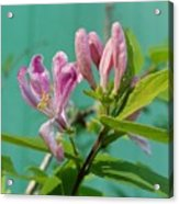 Chinese Honeysuckle  Acrylic Print