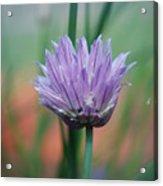 Chive Flower  Acrylic Print