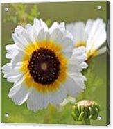 Chrysanthemum Named Polar Star Acrylic Print