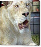 Circus Lion Acrylic Print