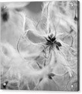Clematis Vitalba Acrylic Print