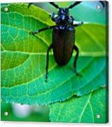 Climbing Beetle Acrylic Print
